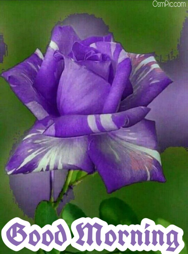 Beautiful good morning images with rose flowers