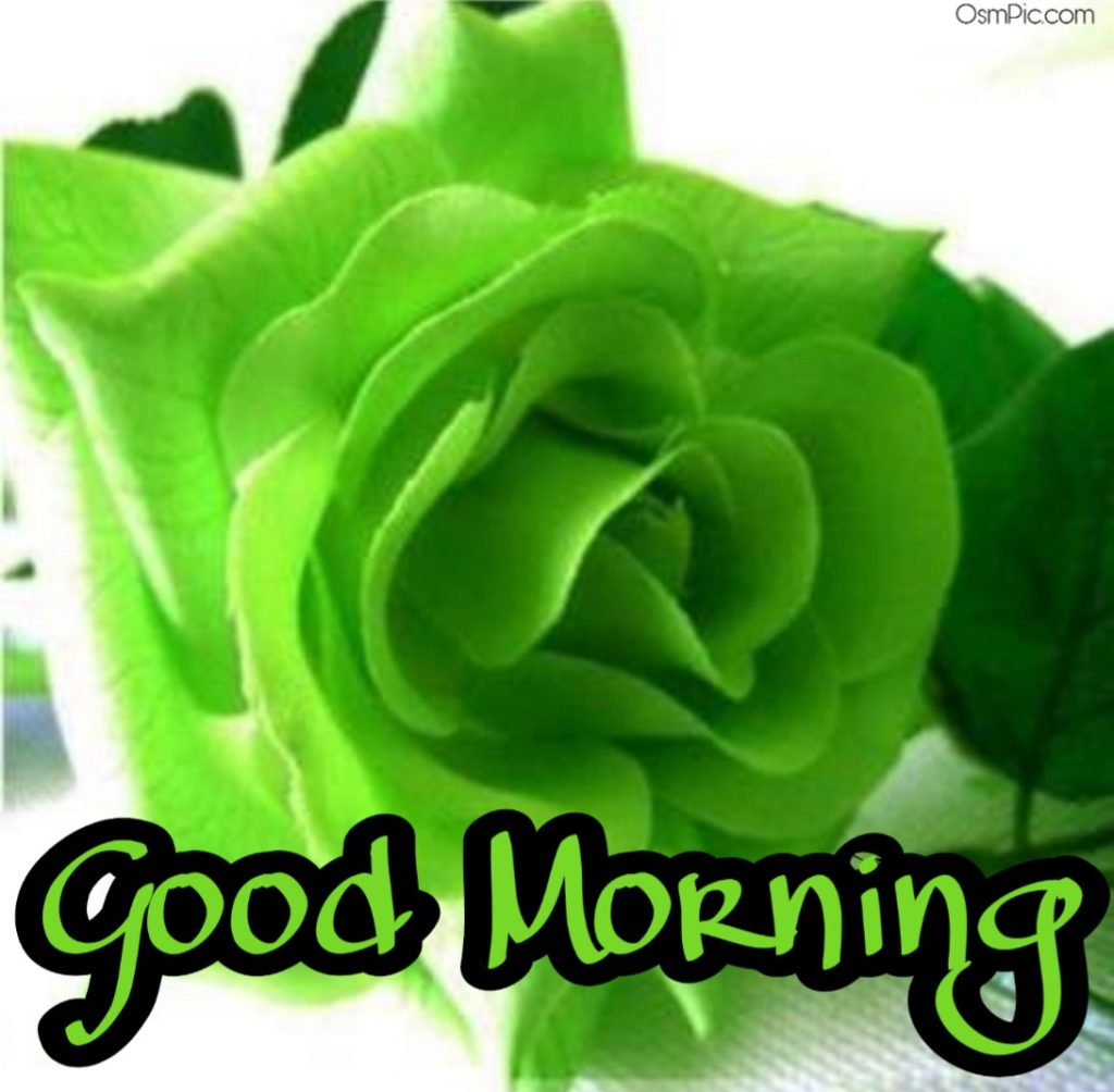 good morning green rose image | Good morning green flowers images Pictures Photos