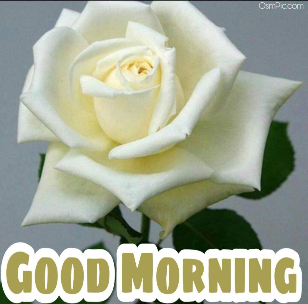 Good Morning white rose image