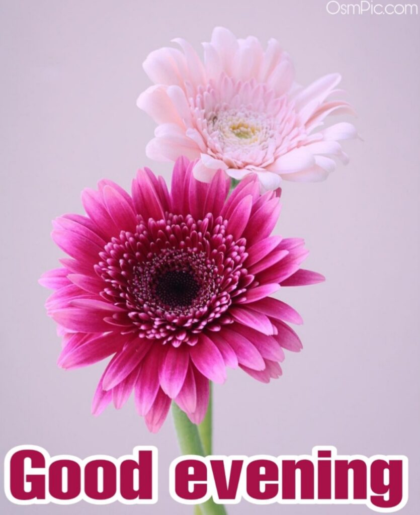 This is a beautiful good Evening flowers Wallpaper photo Free Download