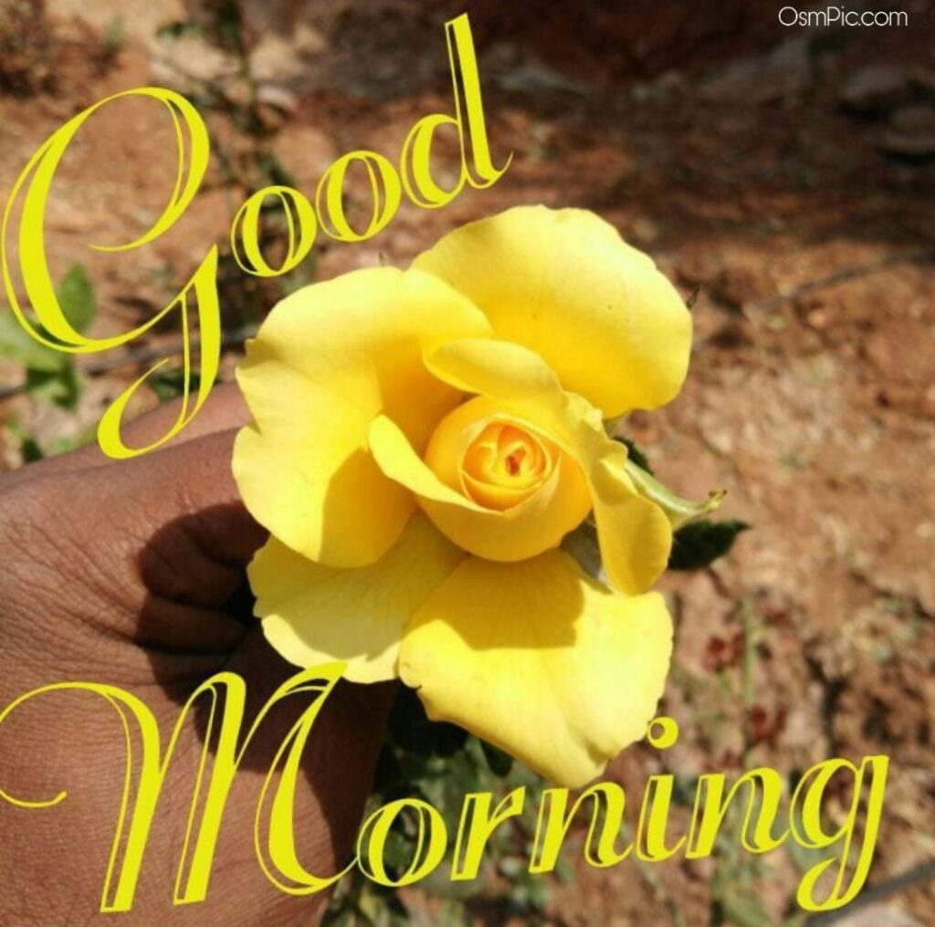 Good morning rose Pictures