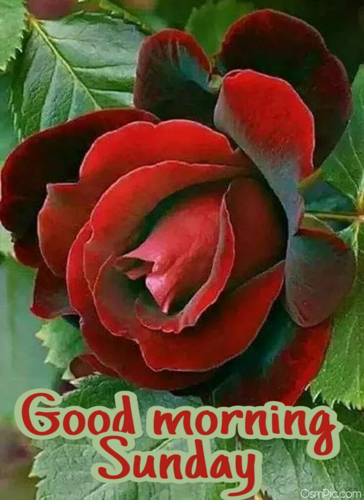 Red rose sunday morning images for whatsapp