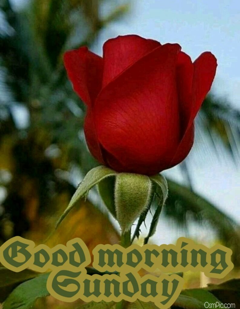 Beautiful good morning sunday rose flower