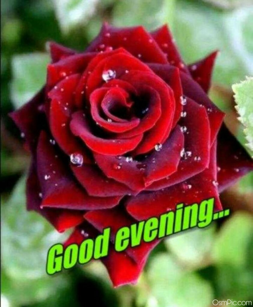 good evening red rose wallpaper