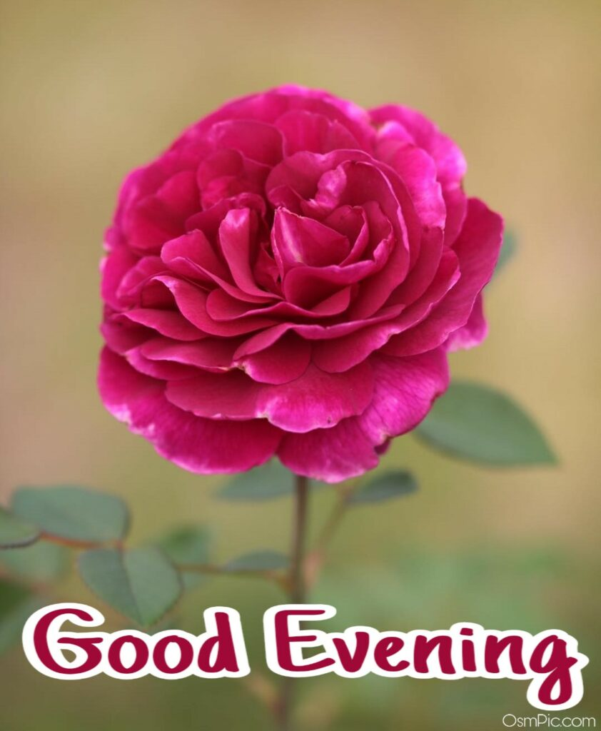 good evening pink rose image for friend to wish good evening with Awesome flowers Pictures