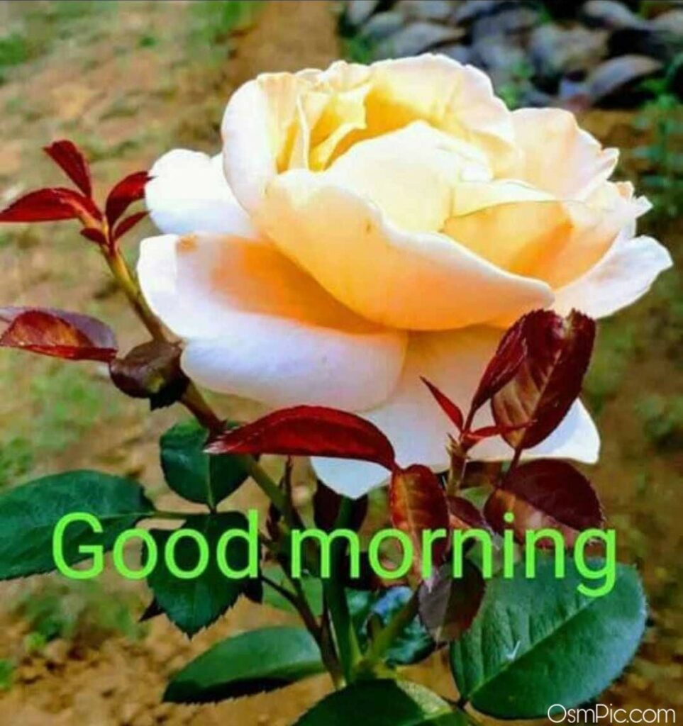 Beautiful Good Morning Yellow Rose For Friendship