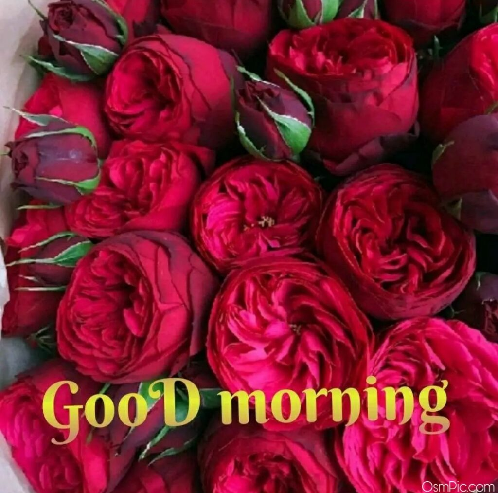 Good Morning Rose's Picture Download