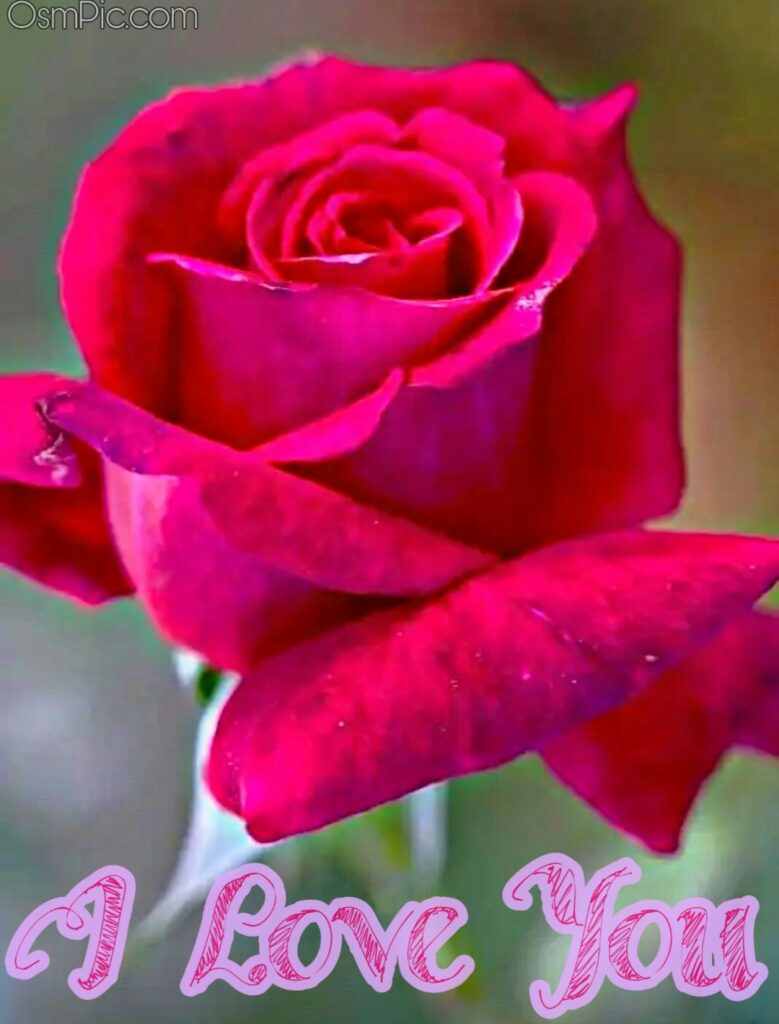 Beautiful rose with I love you Message