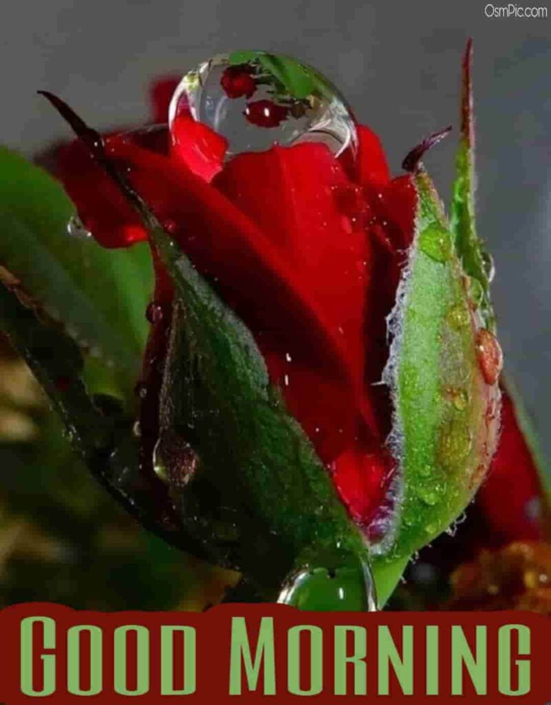 Awesome good morning images with rose flowers