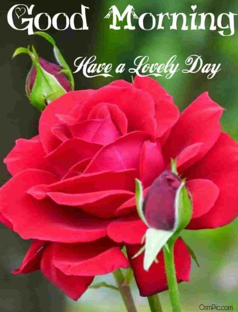 Red rose good morning photo download