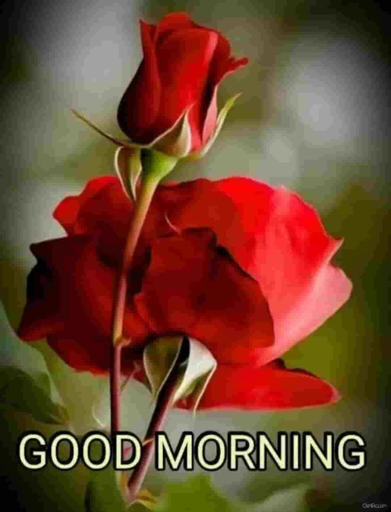 Beautiful red rose good morning images