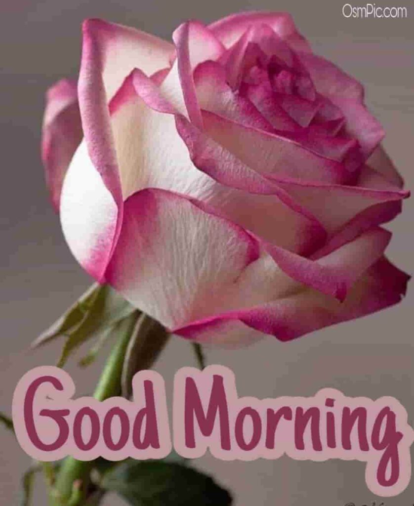 Very beautiful good morning pic with rose