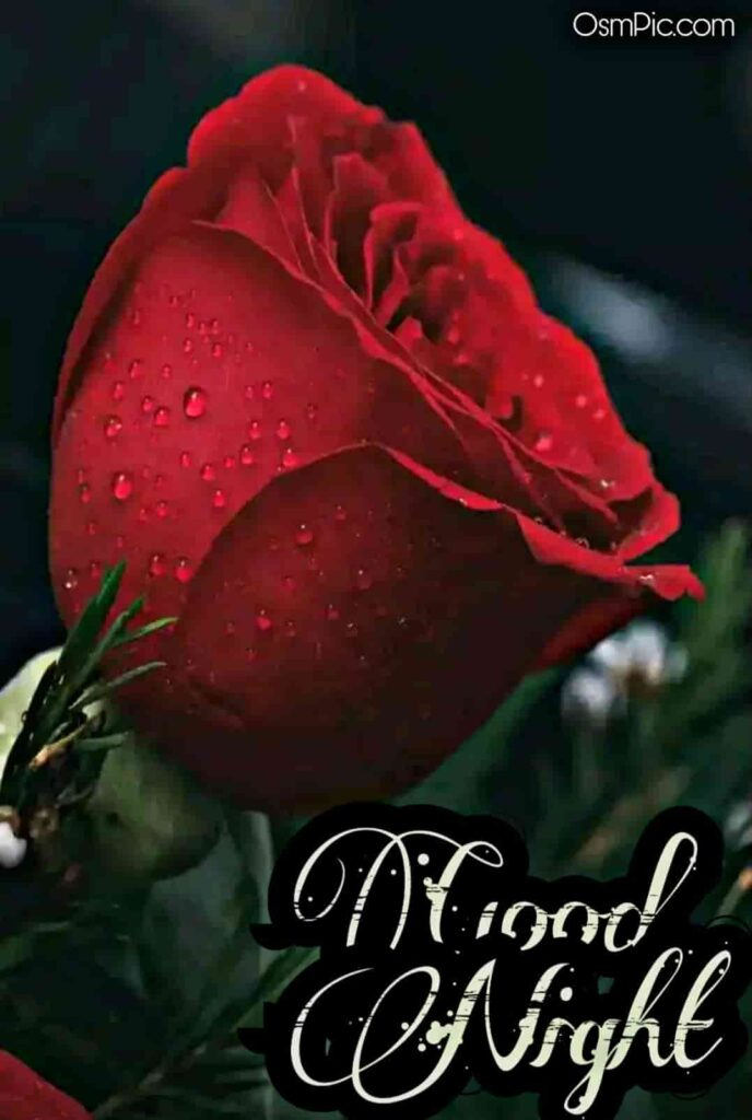 Wish happy rose day with this beautiful good night red rose image and enjoy rose day