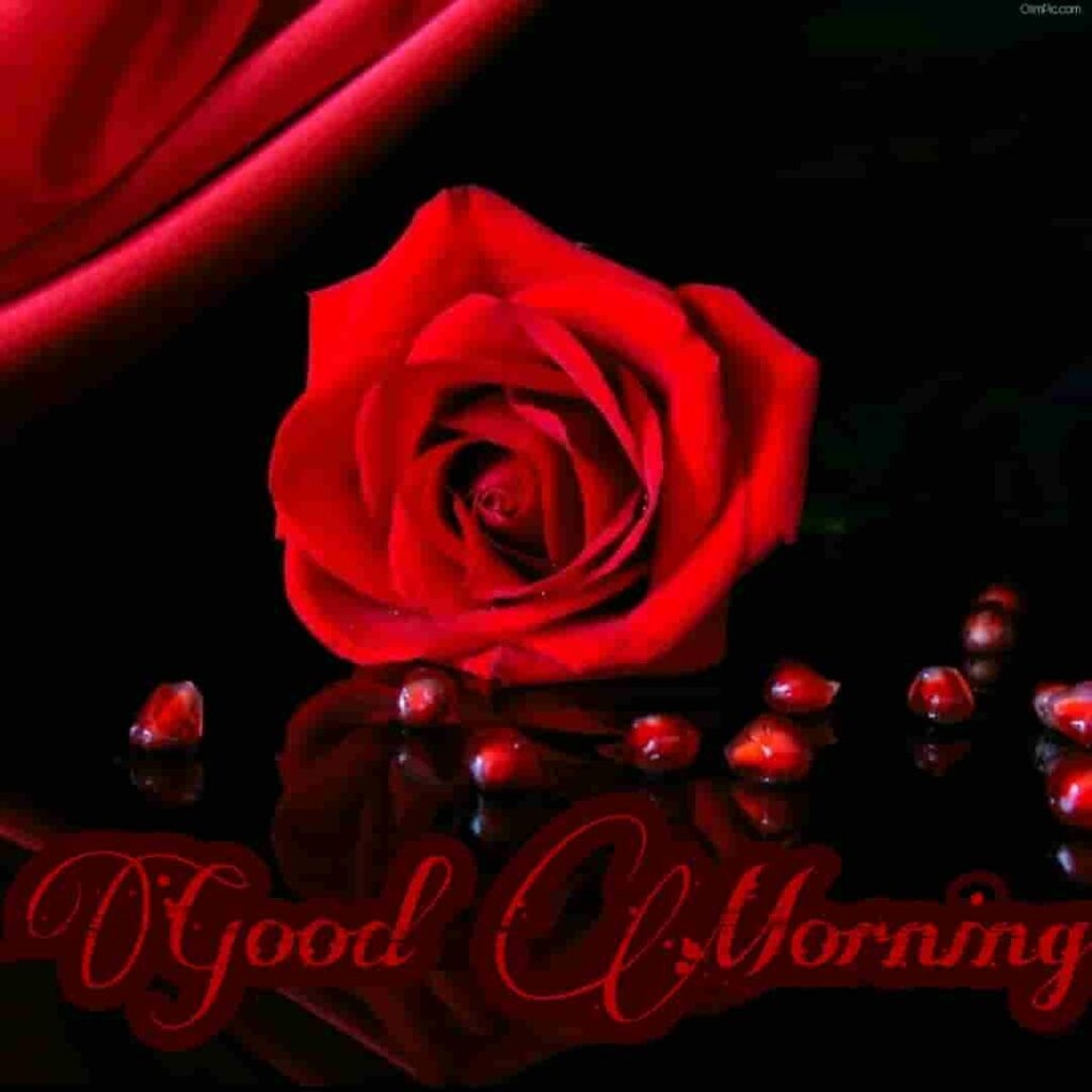 Very beautiful good morning red rose wallpaper