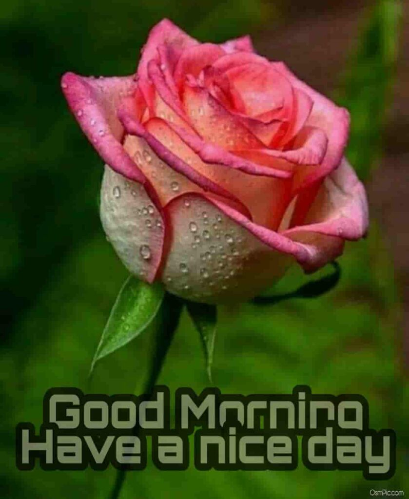 Good morning have a nice day lovely rose