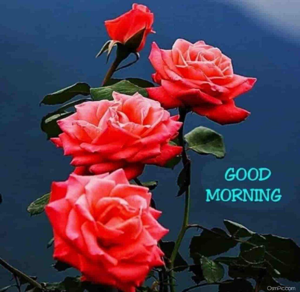 Good morning rose wallpaper