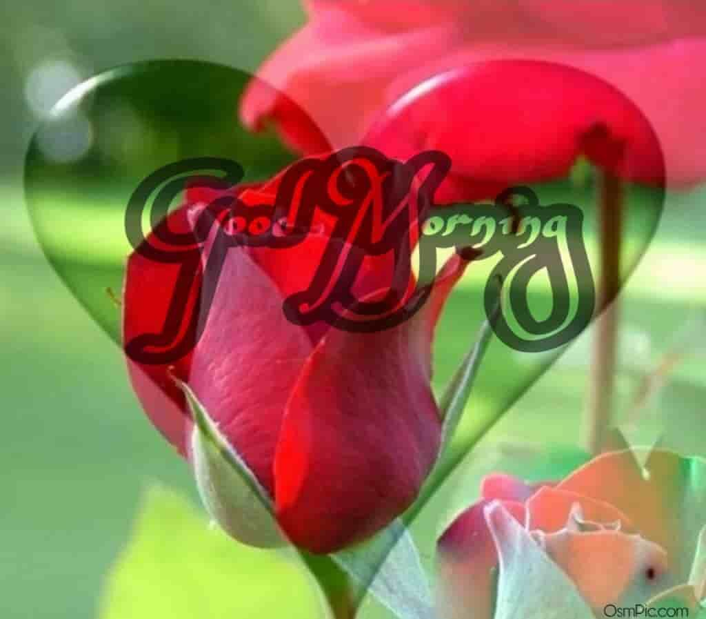 Lovely good morning romantic rose pic