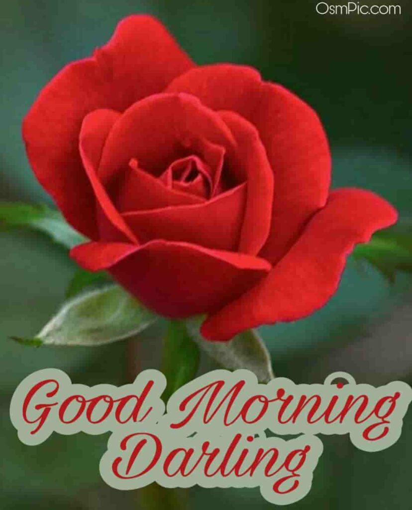 Beautiful good morning red rose for girlfriend