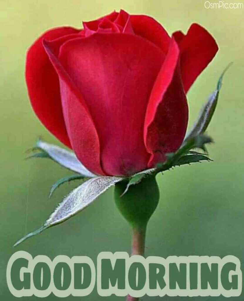 Beautiful rose good morning